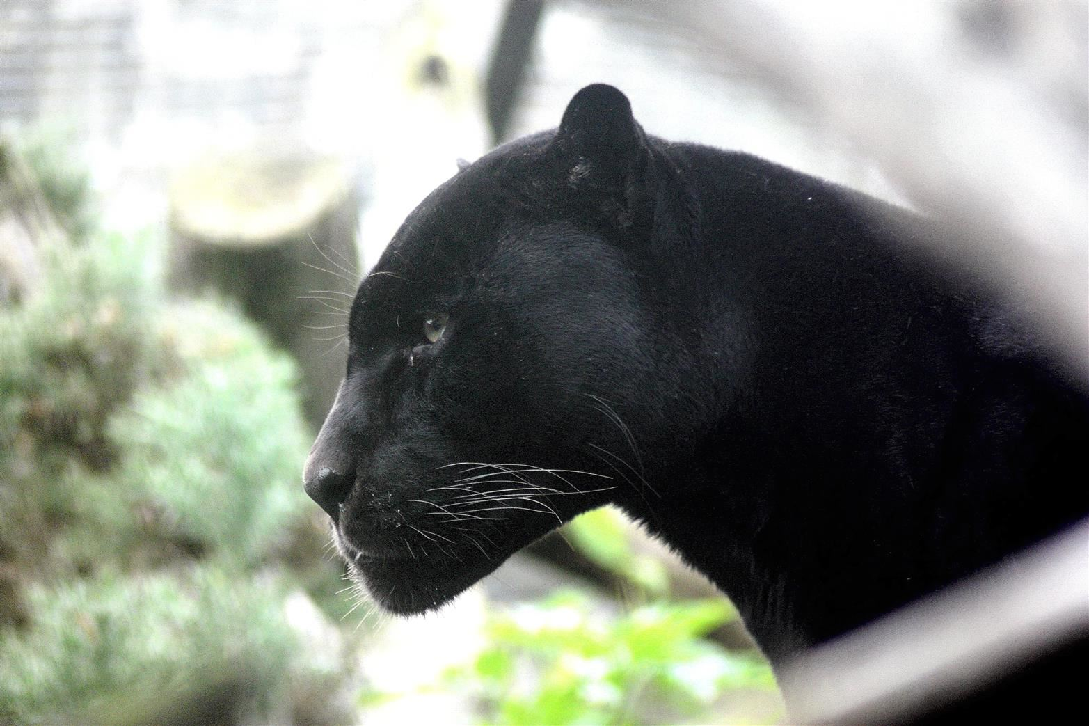 Photo of a black panther